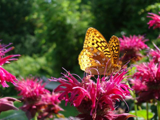 wildbutterfly