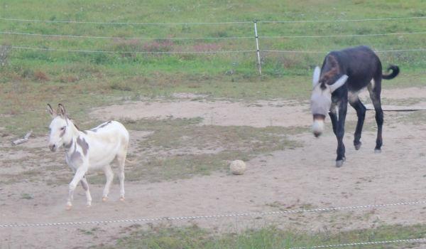 donkeychase